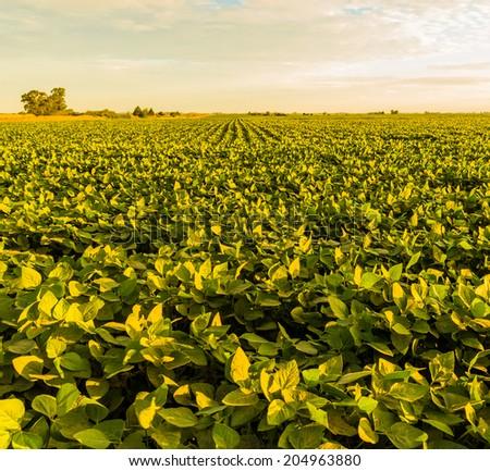 A beautiful soybean field at dawn. - stock photo