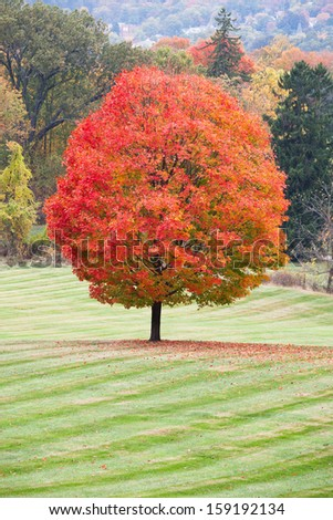 A beautiful sugar maple with peak fall colors. - stock photo