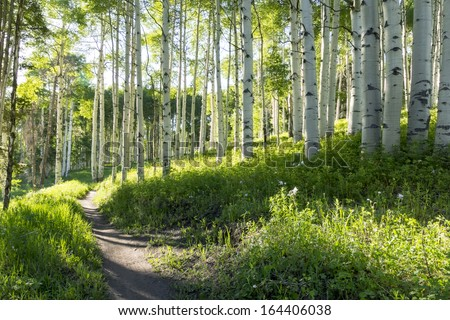 A beautiful summer hiking trail through Aspen Tree grove on Vail Colorado ski resort mountain - stock photo