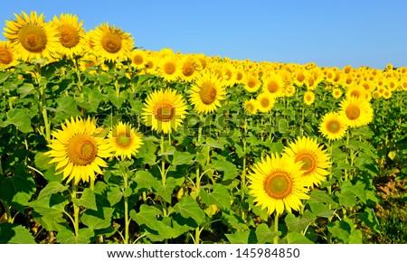 A beautiful sunflower field - stock photo