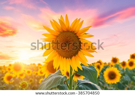 A beautiful sunflower field at sunset near Valensole, Provence, France - stock photo