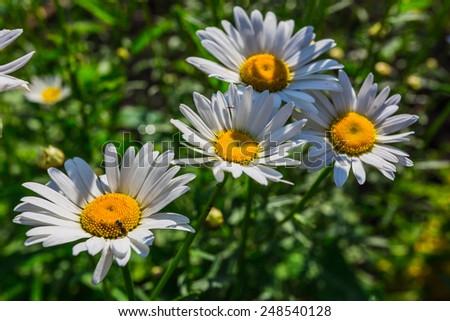 a Beautiful sunny chamomile flowers close-up - stock photo