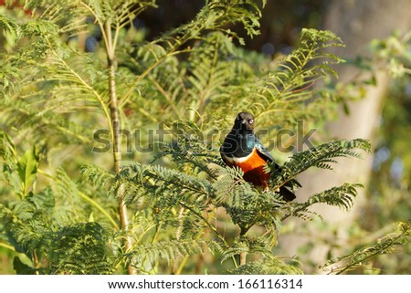 A beautiful Superb Starling  - stock photo