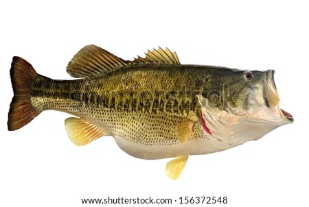 A beautiful ten pound Largemouth Bass (Micropterus salmoides) isolated on a white background. - stock photo