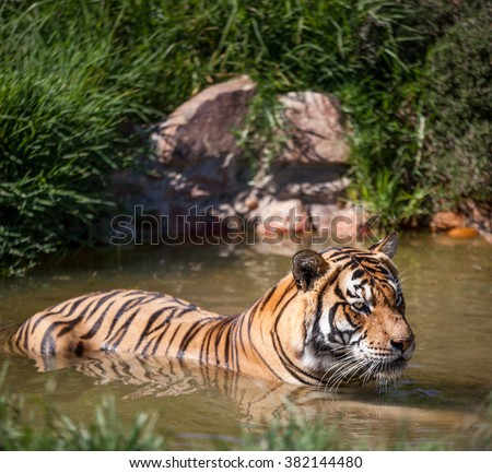 A beautiful tiger standing in the water, enjoying a swim - stock photo