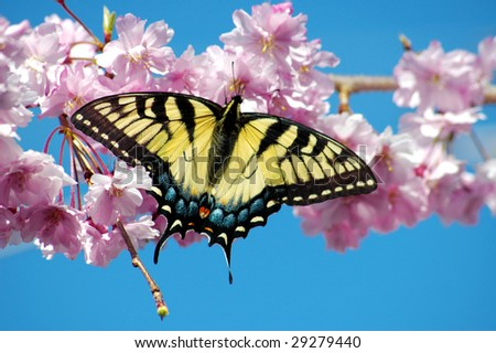 A beautiful Tiger Swallowtail Butterfly on a Weeping Cherry Tree in springtime, copy space - stock photo