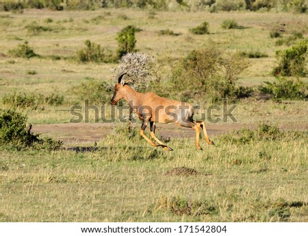 A beautiful Topi antelope in the Mara grassland - stock photo