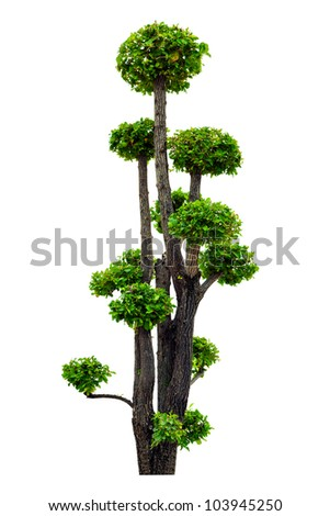 A beautiful tree trimmed isolated on white background - stock photo