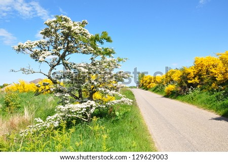 A beautiful tree  with white flowers in a countryside of  Scotland