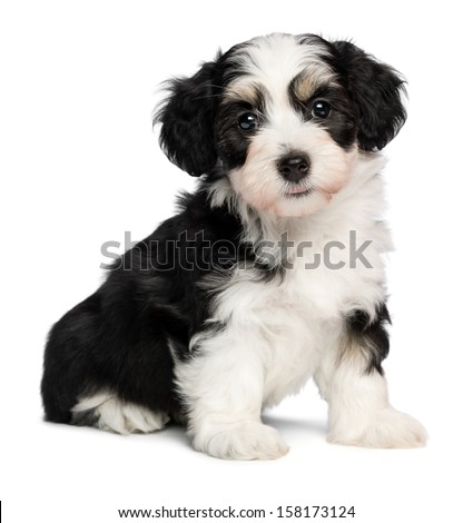 A beautiful tricolor havanese puppy dog is sitting and looking at camera, isolated on white background - stock photo