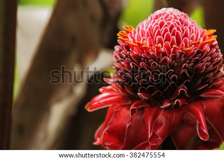 A beautiful tropical red torch ginger flower in a rainforest of Hawaii