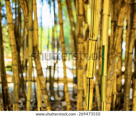 A beautiful tropical yellow bamboo grove in Da Lat city (Dalat), Vietnam. Blue sky visible in the background. Shallow DOF. - stock photo