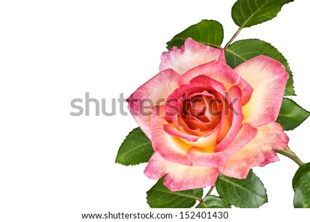 A beautiful two tone pink rose on a white background, horizontal with copy space - stock photo