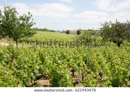 A beautiful Vineyard landscape under blue sky with clouds