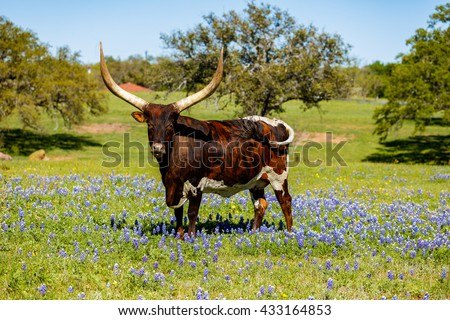 A beautiful Watusi Longhorn mix bull standing proud in a bluebonnet field on a ranch in the Texas Hill Country.