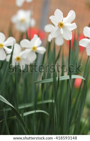 a beautiful white daffodil flower - stock photo