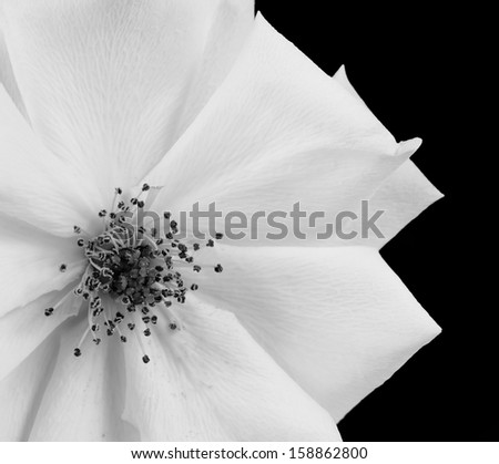 A Beautiful White rose shown in black and white, isolated on a black background - stock photo