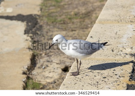 A  beautiful white seagull  is  standing  on  the concrete ledge   by  the  crystal  clear waters of the  Leschenault Estuary in Bunbury western Australia on a fine sunny  early  autumn   afternoon.