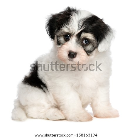 A beautiful white spotted havanese puppy dog is sitting and looking at camera, isolated on white background - stock photo