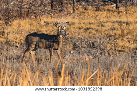 A Beautiful White-tail Deer Buck in a Field