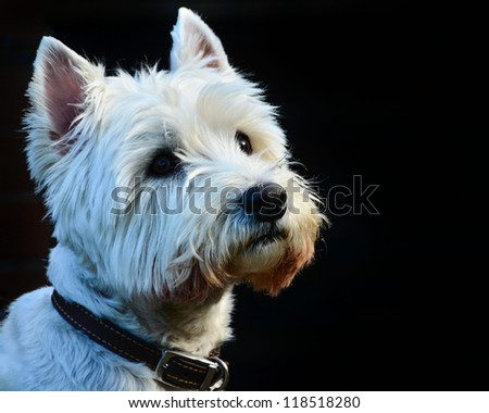 A Beautiful White West Highland Terrier Isolated on Black Background - stock photo