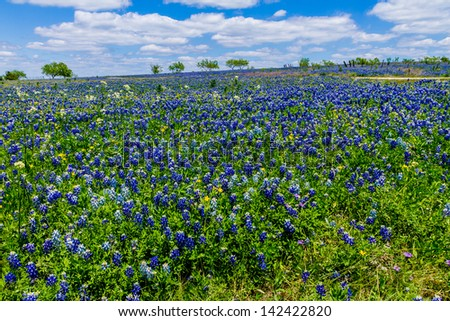 A Beautiful Wide Angle Shot of a Field Blanketed with the Famous Texas Bluebonnet (Lupinus texensis) Wildflowers, in Texas Near Ennis. - stock photo