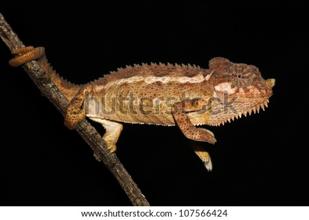 A beautiful WILD Von Hohnel's or Helmeted or High-casqued Chameleon (Trioceros hoehnelii) reaches out from a tree branch in Kenya, Africa. Isolated on black with plenty of space for text. - stock photo