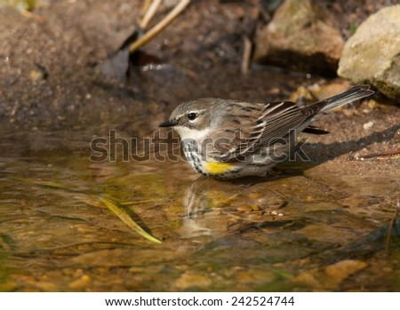 A beautiful Yellow-rumped Warbler comes to a spring in a Wisconsin woodland to bathe and drink. - stock photo