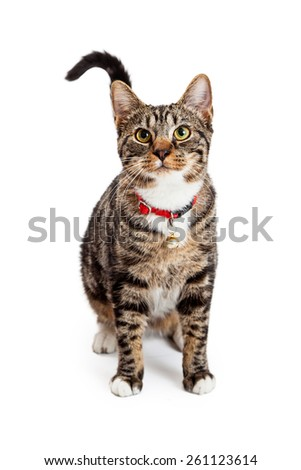 A beautiful young Bengal breed cat wearing a red collar with a bell sitting and looking forward - stock photo