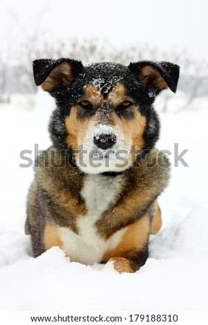 A beautiful young German Shepherd mix breed dog is laying outside in the snow on a winter day, looking at the camera as his nose is covered in snow flakes. - stock photo