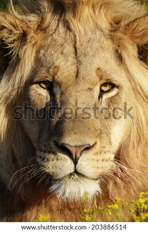 A beautiful young proud male lion looking intensely with his brown eyes in this beautiful close up photo of his face. This was taken at Addo,eastern cape,south africa - stock photo