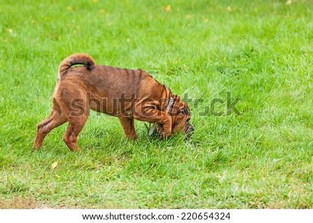 A beautiful, young red fawn Chinese Shar Pei dog standing on the lawn, distinctive for its deep wrinkles and considerd to be a very rare breed  - stock photo