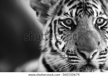 A beautiful young tiger (Panther Tigris). Black & White photo. - stock photo