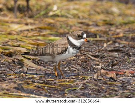 A beautifully plumaged Semipalmated Plover forages on the beach at Flamingo in the Everglades National Park, Florida.