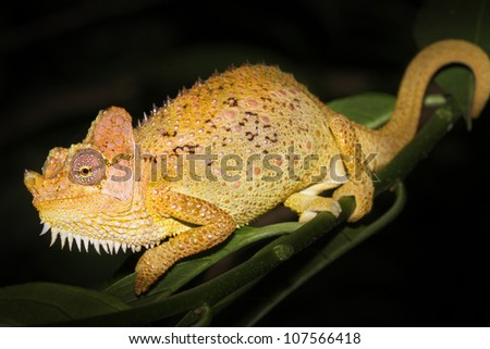 A beautifully vibrant WILD Von Hohnel's or Helmeted or High-casqued Chameleon (Trioceros hoehnelii) rests on a green leaf in Kenya, Africa. Isolated on black with plenty of space for text. - stock photo