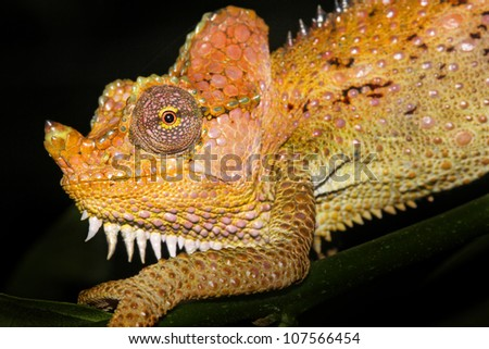 A beautifully vibrant WILD Von Hohnel's or Helmeted or High-casqued Chameleon (Trioceros hoehnelii) in Kenya, Africa. Isolated on black with plenty of space for text. - stock photo