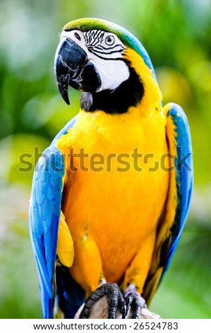 A beautifuly coloured Macaw parrot
