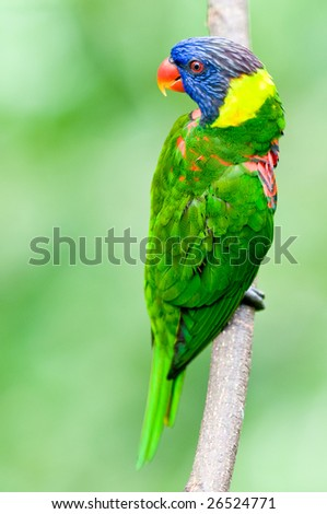 A beautifuly coloured Rainbow Lorikeet - stock photo