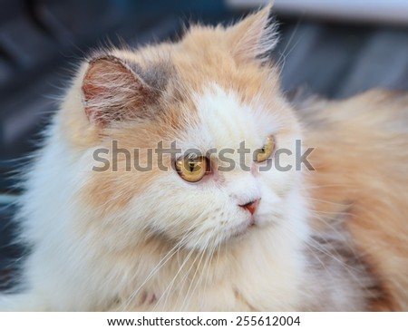 A beauty and lovely Persian cat - stock photo