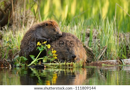 A beaver and yearling near water in forest - stock photo