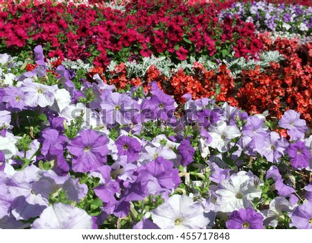 A bed of petunias.