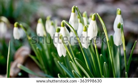 a bed of snowdrops in the garden - stock photo