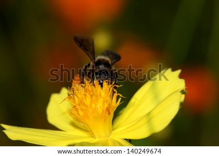 A bee busy drinking nectar on sulfur cosmos, macro shot