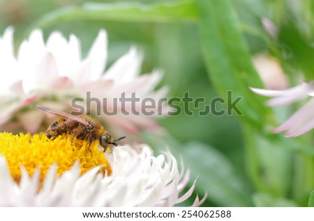 a bee coated with pollen is staying on the flower - stock photo