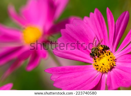 A bee collecting nectar from purple cosmos flower, macro. - stock photo