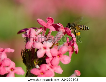 A bee collecting nectar from sweet pink flowers.