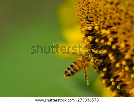A bee collecting nectar on sunflower, macro. - stock photo