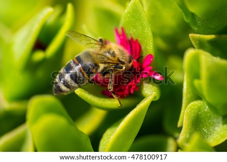 A bee collecting pollen on red. Macro photography