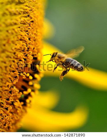 A bee collects nectar from flowers. - stock photo