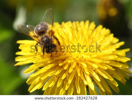 A bee collects nectar on a dandelion